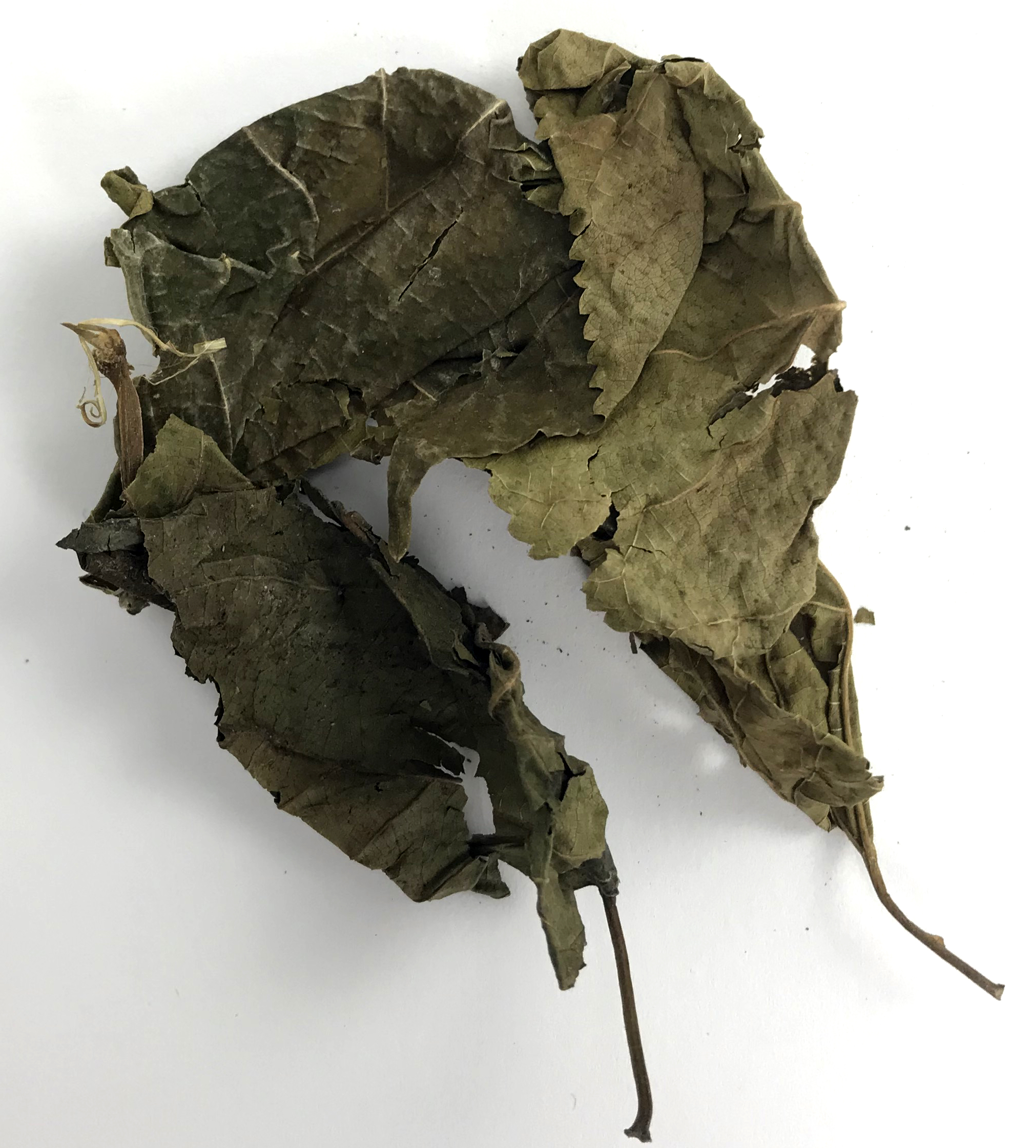 AquaLife Mulberry Leaves Approx. wt. 15 grams