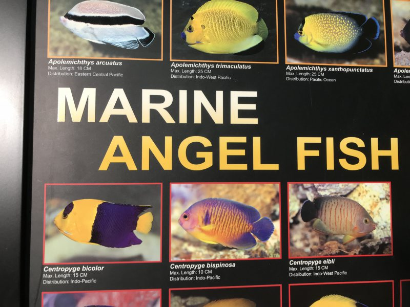 Marine Angelfish Poster