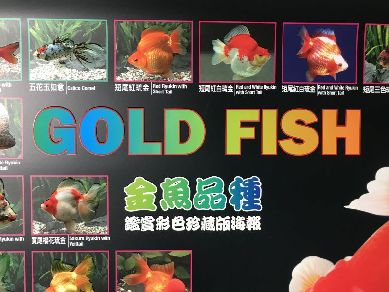 Gold Fish Poster